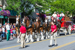 Budweiser Clydesdales in Coeur d' Alene, Idaho Royalty Free Stock Photo
