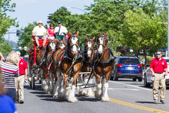 Budweiser Clydesdales in Coeur d' Alene, Idaho Royalty Free Stock Photos