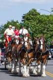 Budweiser Clydesdales in Coeur d' Alene, Idaho. Coeur d' Alene, Idaho - June 12 : Budweiser Clydesdales parade down Sherman avenue, June 12 2015 in Coeur d' Stock Image