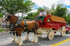 Budweiser Clydesdales getting ready to parade Stock Photos