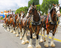 Budweiser Clydesdales getting ready to parade Stock Photography