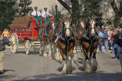 Budweiser Clydesdales. The Budweiser Clydesdales in Jacksonville Florida Stock Images