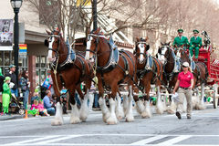 Budweiser Clydesdales Strut In Parade. Atlanta, GA, USA - March 15, 2014: The famous Budweiser Clydesdales strut down Peachtree Street in the annual St. Patrick' stock photography