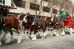 Budweiser Clydesdales Trot In St. Patty's Parade Royalty Free Stock Images