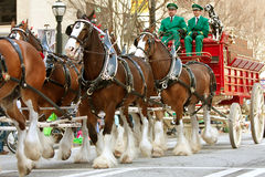 Budweiser Clydesdales Walk In St. Patty's Parade Royalty Free Stock Photos