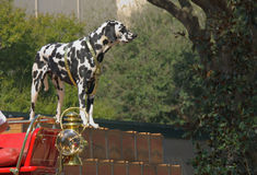 Budweiser Dalmatian. A Dalmatian with the budweiser Clydesdales Royalty Free Stock Photography