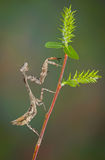 Budwing mantis Stock Photography