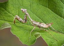 Budwing mantis on leaf Stock Photos