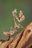 Budwing mantis nymph Royalty Free Stock Photos
