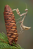 Budwing mantis on pine cone Stock Photography