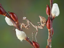 Budwing mantis on pussy willow Royalty Free Stock Image