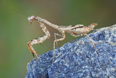 Budwing mantis on rock Royalty Free Stock Image