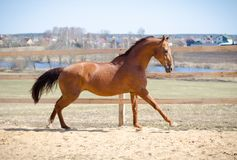 Free Budyonny Mare Horse Galloping Stock Image - 164358691