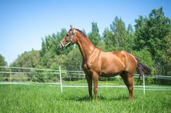 Free Budyonny Mare In Halter In Green Meadow Stock Images - 164336244