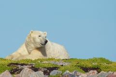 Budzić się niedźwiedzia polarnego na trawie obraz royalty free