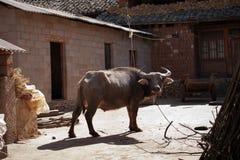 Bue del bufalo d'acqua di Brown che riposa e che sta su un'azienda agricola Fotografia Stock Libera da Diritti
