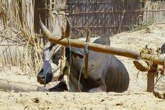 Bue di lavoro duro del Madagascar Fotografia Stock