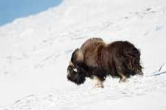 Bue di muschio maschio che sta nella neve nelle montagne di Dovrefjell fotografia stock libera da diritti