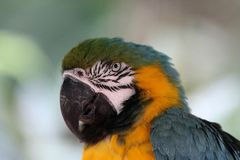 Bue & Gold Macaw, Exotic, Bird, Amazon Parrot, Species. Blue & Gold Macaw detail head royalty free stock photography