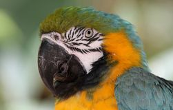Bue & Gold Macaw, Exotic, Bird, Amazon Parrot, Species. Blue & Gold Macaw detail head stock image