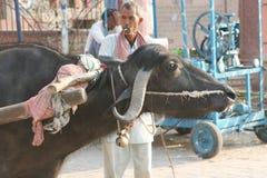Bue L'India Immagini Stock