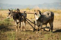 Bue nel Myanmar Fotografia Stock