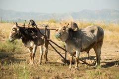 Bue nel Myanmar Fotografia Stock Libera da Diritti