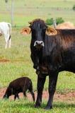 Bue nero ed altri animali da allevamento Fotografie Stock
