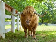 Bue scozzese dell'abitante degli altipiani scozzesi Immagini Stock Libere da Diritti