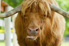 Bue scozzese dell'abitante degli altipiani scozzesi Fotografia Stock