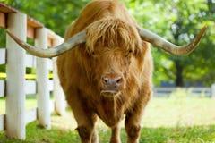 Bue scozzese dell'abitante degli altipiani scozzesi Immagini Stock
