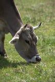 Bue in un erd delle mucche su un prato Fotografia Stock