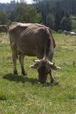 Bue in un erd delle mucche su un prato Fotografie Stock Libere da Diritti