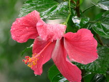 A beautiful pink hibiscus Royalty Free Stock Images
