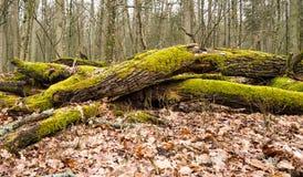 Bueauty av den Bialowieza skogen Fotografering för Bildbyråer