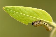 Buen alimento de la larva Fotografía de archivo