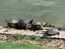 Buen Retiro Park, one of the largest parks of Madrid city, Spain. Turtles in Buen Retiro Park, one of the largest parks of Madrid city, Spain royalty free stock photography