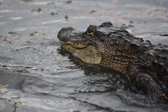 Buena apariencia en el perfil de un cocodrilo con una piel coriácea fotos de archivo