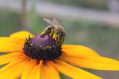 Buena donadora de polen de а Fotografía de archivo