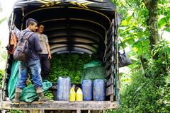 BUENA VISTA QUINDIO, COLOMBIA, 15 AUGUSTI, 2018: Skörda för banan arkivbilder