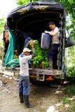 BUENA VISTA QUINDIO, COLOMBIA, 15 AUGUSTI, 2018: Skörda för banan arkivbild