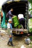 BUENA VISTA, QUINDIO, COLOMBIA, EL 15 DE AGOSTO DE 2018: Cosecha del plátano imagenes de archivo