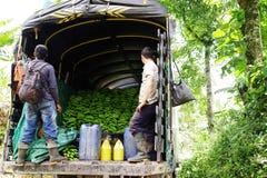 BUENA VISTA, QUINDIO, KOLUMBIEN, AM 15. AUGUST 2018: Bananenernten lizenzfreie stockfotos