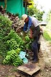 BUENAVISTA, QUINDIO, ΚΟΛΟΜΒΊΑ, ΣΤΙΣ 15 ΑΥΓΟΎΣΤΟΥ 2018: Συγκομιδή μπανανών στοκ φωτογραφίες