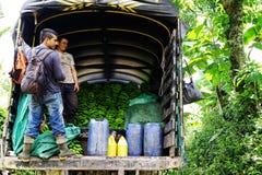 BUENAVISTA, QUINDIO, COLOMBIA, 15 AUGUSTUS, 2018: Banaan het oogsten stock afbeeldingen