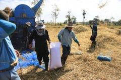 BUENG KAN, TAILANDIA - 8 DE DICIEMBRE: Cosecha tradicional del arroz de Tailandia Imagenes de archivo