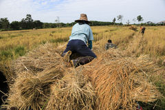 BUENG KAN, THAILAND - DEC 08 : Thailand traditional rice harvest.  stock images
