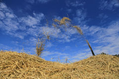 BUENG KAN, THAILAND - DEC 08 : Thailand traditional rice harvest.  royalty free stock photo