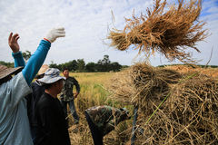 BUENG KAN, THAILAND - 08 DEC: Traditionele de rijstoogst van Thailand Royalty-vrije Stock Afbeelding