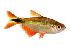 Buenos aires Hyphessobrycon tetra anisitsi akwarium tropikalna ryba Zdjęcia Royalty Free